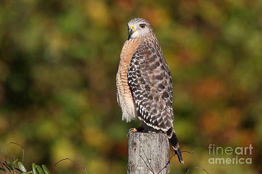 Red-shoulder Hawk by Jennifer Zelik