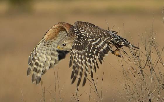 Red-Shouldered Hawk by Amber Bobbitt