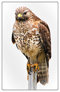 Red-Shouldered Hawk by Dottie Dees