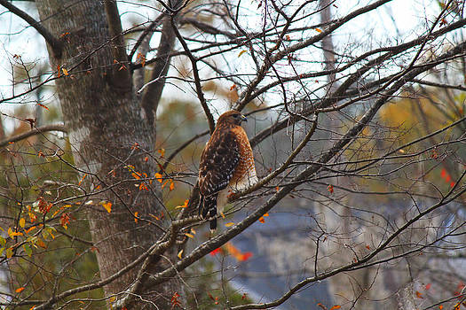 Red Shouldered Hawk by Ella Char