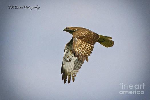 Barbara Bowen - Red-shouldered Hawk flyby