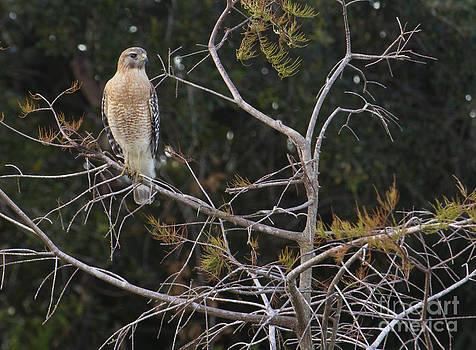 Red Shouldered Hawk by John Rowe