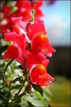 Red Snapdragons II by Aya Murrells