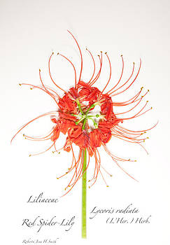 Red Spider-Lily by Roberta Jean Smith