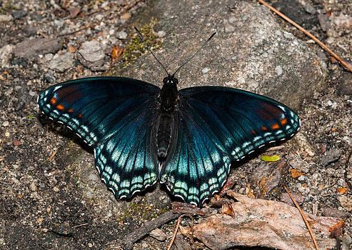Lara Ellis - Red Spotted Purple Butterfly