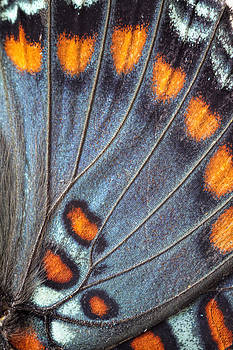 Red-Spotted Purple Butterfly Wing by Daniel Caron