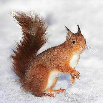 Red Squirrel in snow by Grant Glendinning