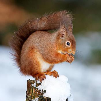 Red Squirrel Portrait by Grant Glendinning