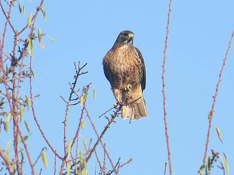 Red Tail Bakersfield by Shawn Minor