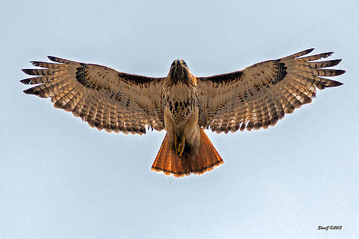 Red Tail Hawk at Riverside Cemetery by Stephen  Johnson