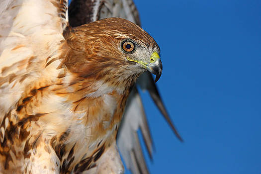 Red Tail Hawk by Fuad Azmat