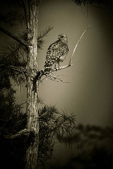 Red Tail Hawk On Loop Road by Bradley R Youngberg