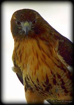 Red Tail Hawk by Terri K Designs