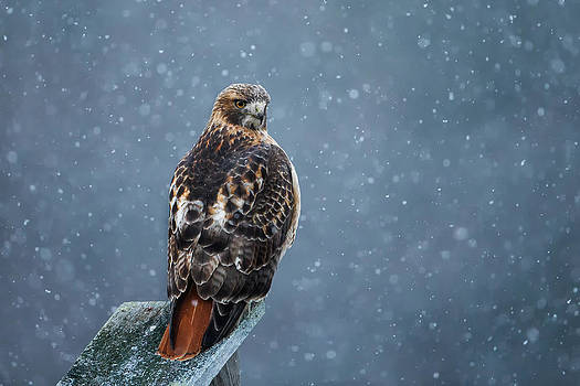 Red-tail in Snow by Christopher Ciccone
