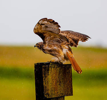 Red Tail in the Rain by Brian Williamson