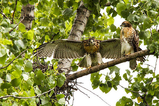 Red-tailed fledges by Jill Bell