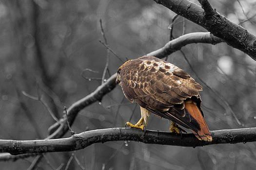 Red tailed Hawk 2 by Jahred Allen