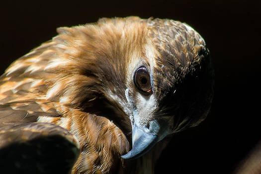 Gaurav Singh - Red-tailed Hawk