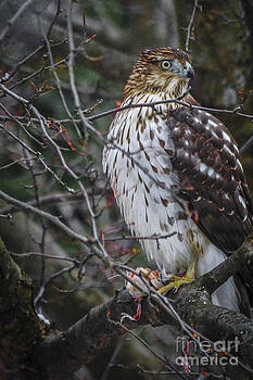 Kathryn Strick - Red-tailed Hawk II