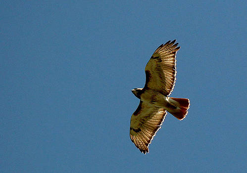 Red-tailed Hawk in Flight by James Hammen