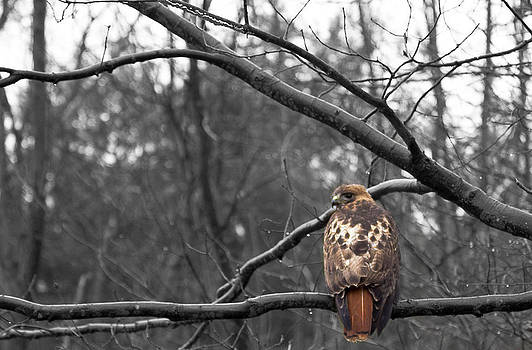 Red tailed hawk by Jahred Allen