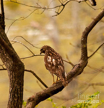 Red Tailed Hawk by Jinx Farmer