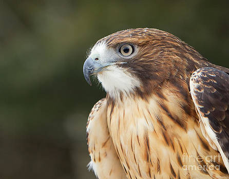Red tailed Hawk  by Joshua Clark