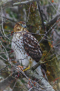Kathryn Strick - Red-Tailed Hawk
