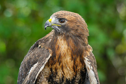 Red-tailed Hawk Close-up by Kimberly Kotzian