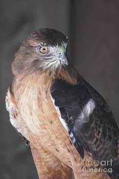 Red-Tailed Hawk by Lorelle Gromus