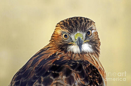Red Tailed Hawk Portrait #2 by Rodney Campbell