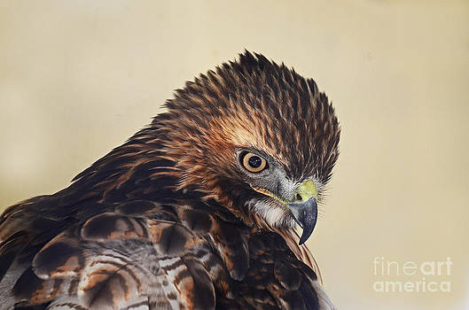 Red Tailed Hawk Portrait by Rodney Campbell
