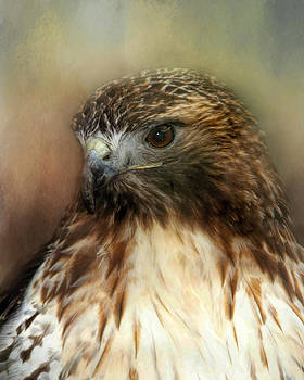 Red Tailed Hawk Portrait by TnBackroadsPhotos