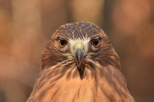 Red-tailed Hawk stare by Nancy Landry