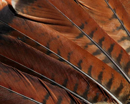 Erin Tucker - Red Tailed Hawk Tail Detail