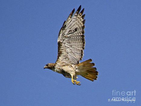 Barbara Bowen - Red-tailed Hawk takeoff