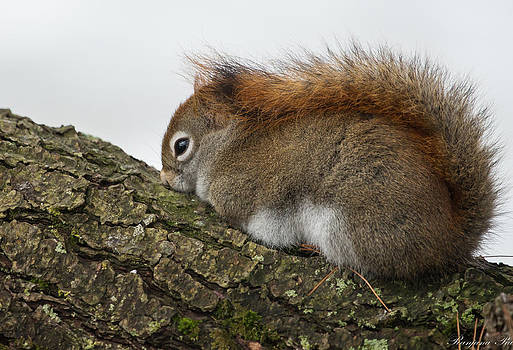Red Tailed Squirrel cuddling in cold by Ranjana Pai