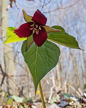 Barbara McMahon - Red Trillium Heralding Spring