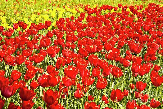 Heiko Koehrer-Wagner - Red Tulip field on Island Mainau