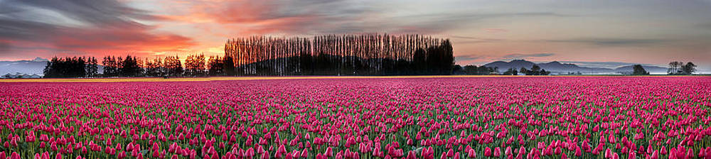Red Tulip Harmony by David  Forster