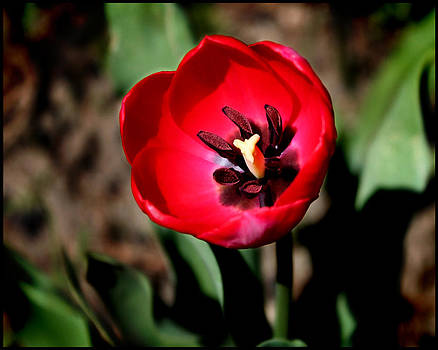 Red Tulip III by Aya Murrells