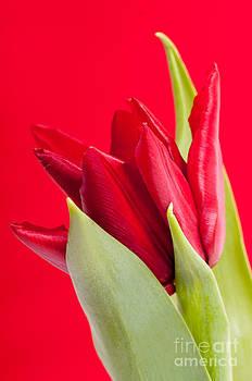 Single Red Tulip Flower Head Detail  by Arletta Cwalina