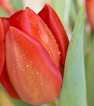 Red Tulip by Mariola Szeliga
