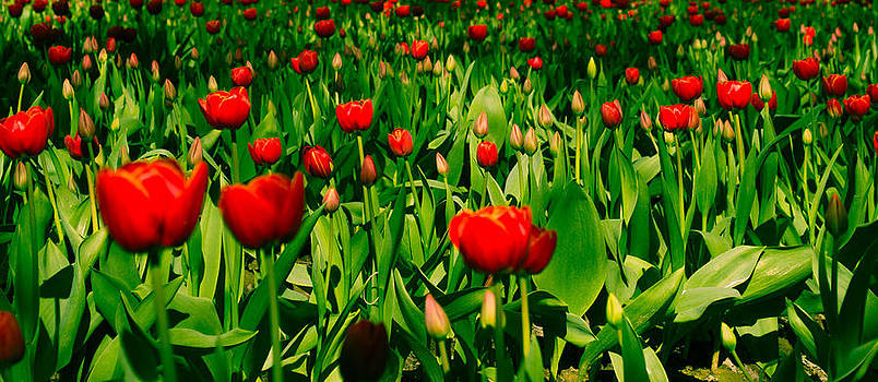 Red Tulips by Blanca Braun