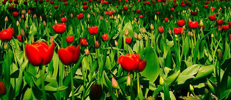 Red Tulips by Blanca Braun