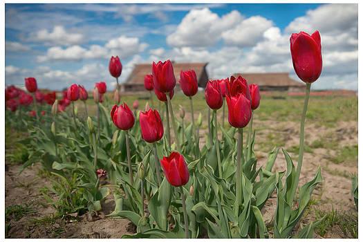 Red Tulips Blue Skies by Eric  Bjerke Sr