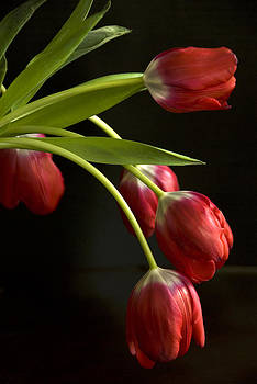 Red Tulips by Cindy Rubin