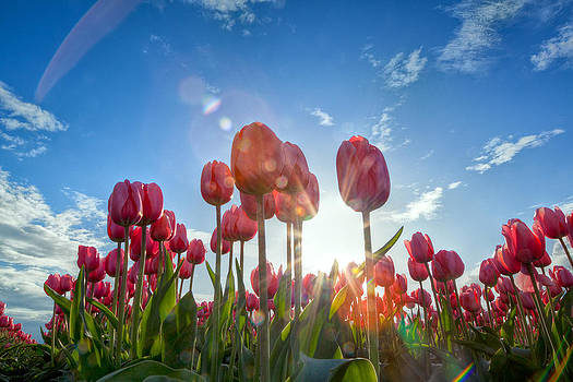 Red Tulips by David Williams