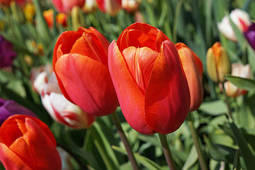Baslee Troutman - RED Tulips Flowers Pink Orange Tulip Flowers