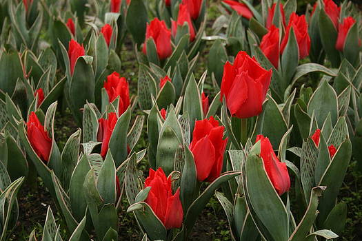 Red Tulips II by Maeve O Connell